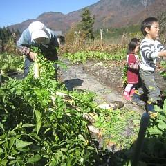 自家野菜・大根の収穫 94歳と2才4才が・・・・・・の画像