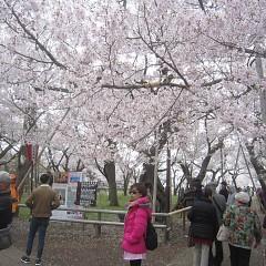 高遠城址公園の桜と奈良井宿の画像