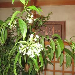 夜来香(イエライシャン)の花が咲いたよ 李香蘭の画像