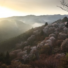 日本一桜 春の吉野山お花見プランの画像
