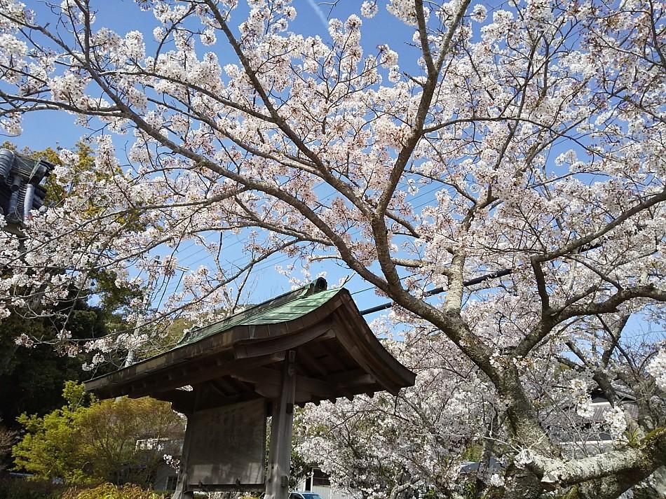 興国寺の桜