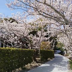 興国寺の桜の画像