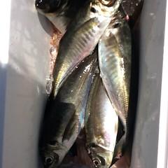 5月20日 (土)午前便・アジ釣り・午後便・真鯛の写真その1