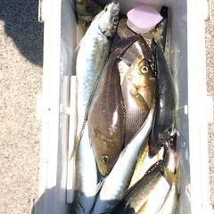 5月19日(土)午前便・アジ・イサキ釣りの写真その2