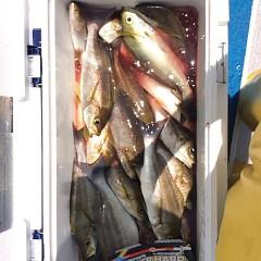 7月11日(水)午前便・午後便・イサキ釣りの写真その3