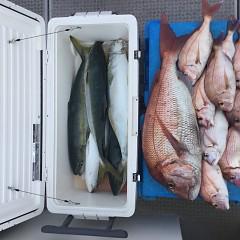 9月11日(火) 午後便・ウタセ真鯛の写真その3