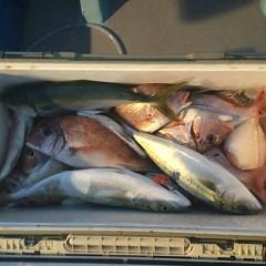 9月 20日(木) 午後便・ウタセ真鯛の写真その6