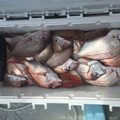 9月 24日(月) 午前便・ウタセ真鯛の写真その7