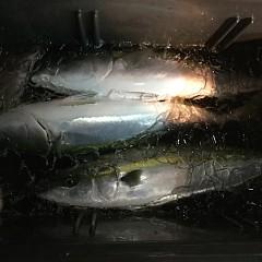 11月 17日(土) 午後便・ウタセ真鯛の写真その12
