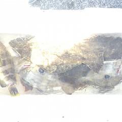 1月 4日(金) 午前便・泳がせ釣りの写真その4