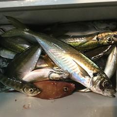 1月30日(水)午後便・アジ釣りの写真その1