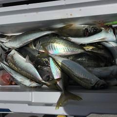 5月 30日(木) 午前便・アジ釣り 午後便・ウタセ真鯛の写真その4
