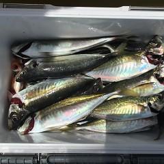 5月 30日(木) 午前便・アジ釣り 午後便・ウタセ真鯛の写真その7