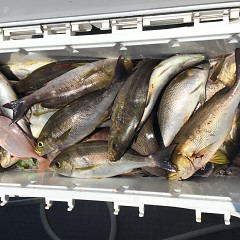 6月 13日(木) 午前便・イサキ釣りの写真その6