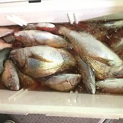 9月 24日(火) 午後便・ウタセ真鯛の写真その12