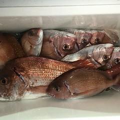 9月 17日(木) 午後便・ウタセ真鯛の写真その9