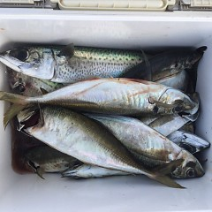 5月 31日(月)午前・午後便・アジ、イサキ釣りの写真その5