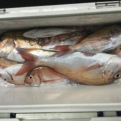 9月 9日(木)午後便・ウタセ真鯛の写真その12