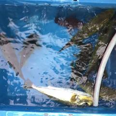 9月 13日(月) 午後便・ウタセ真鯛の写真その6