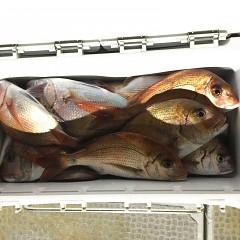 9月 27日(月)午後便・ウタセ真鯛の写真その1