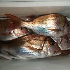 9月 28日(火)午後便・ウタセ真鯛の写真その8